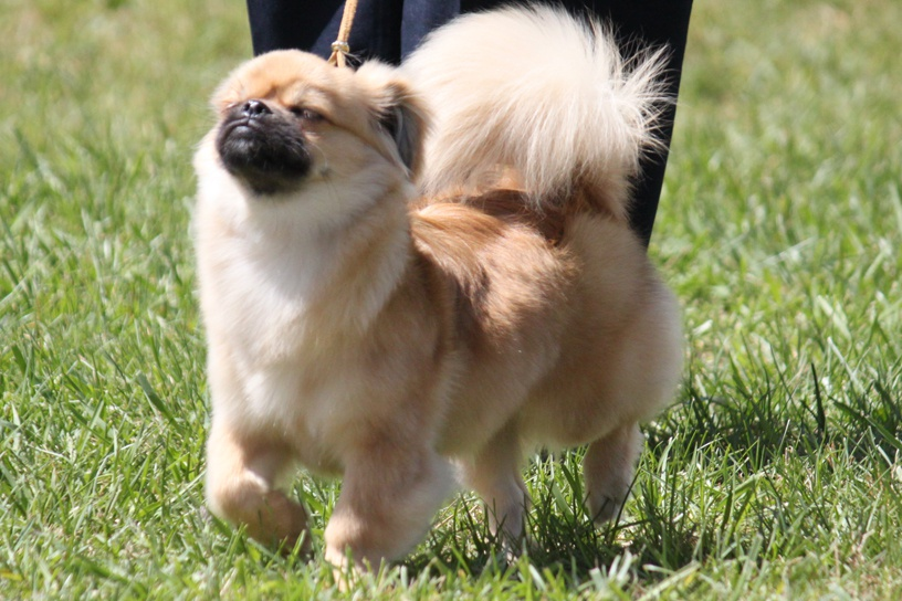Tibetan Spaniel Dog 18