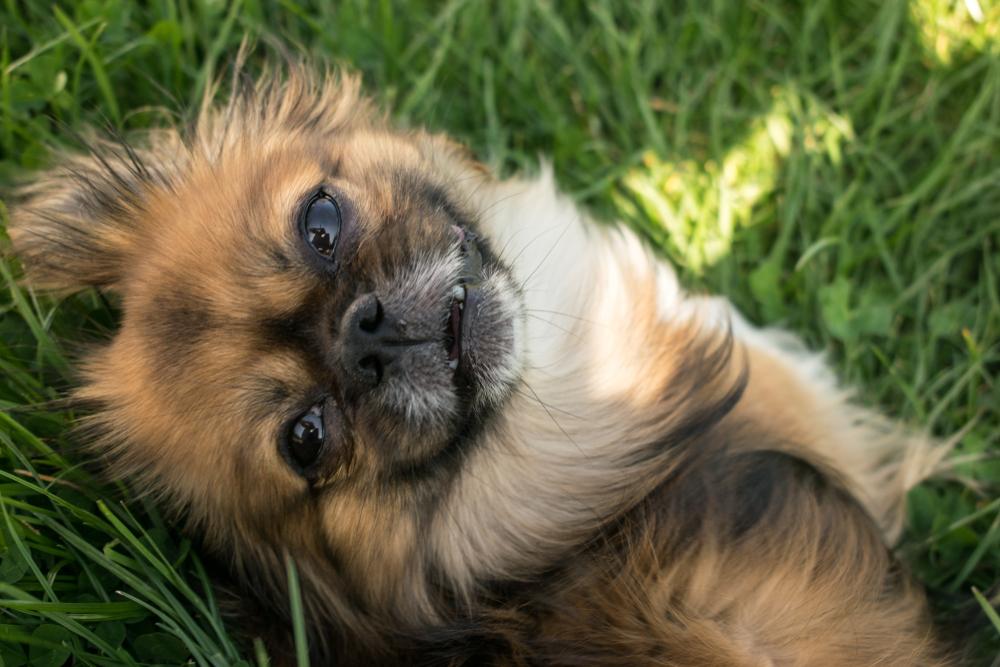 Tibetan Spaniel Dog 21