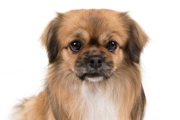 Tibetan Spaniel Dog 22