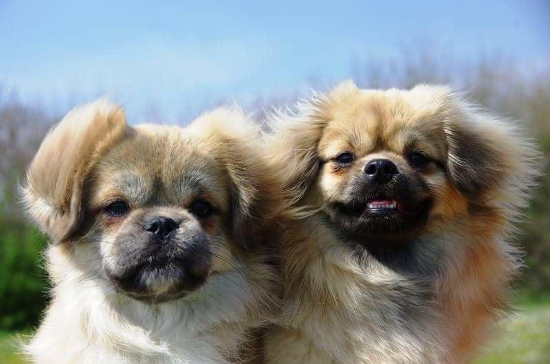 Tibetan Spaniel Dog 20