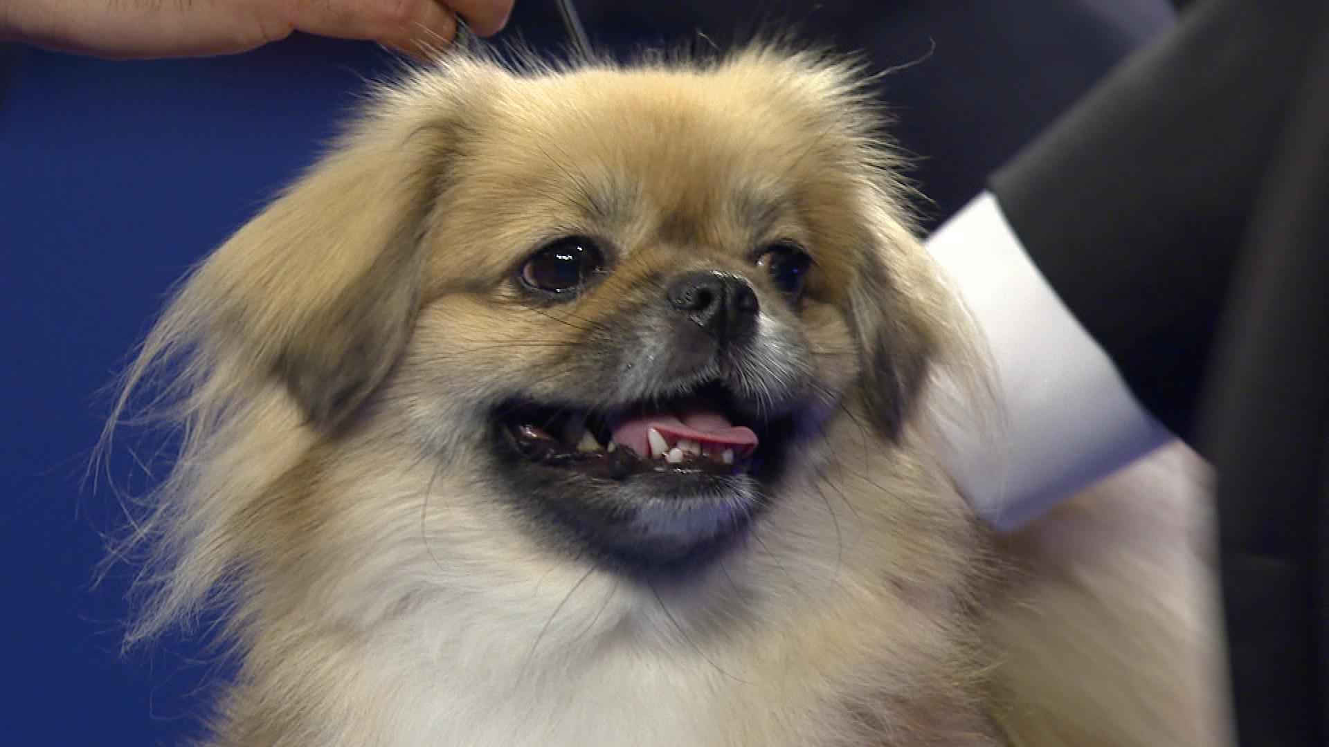 Tibetan Spaniel Dog 19