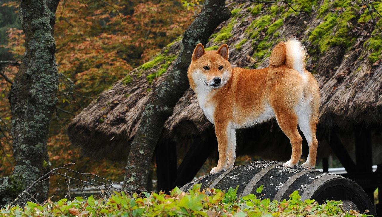 Shiba Inu Dog 17