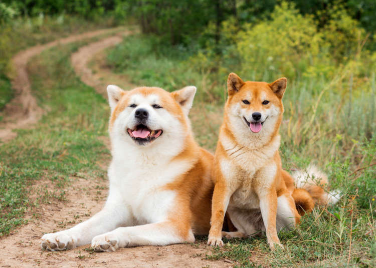 Shiba Inu Dog 16