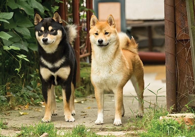 Shiba Inu Dog 15