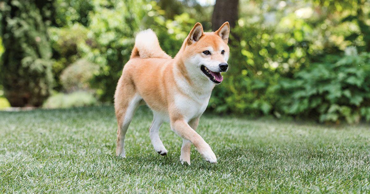 Shiba Inu Dog 14