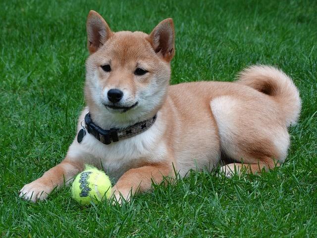 Shiba Inu Dog 13