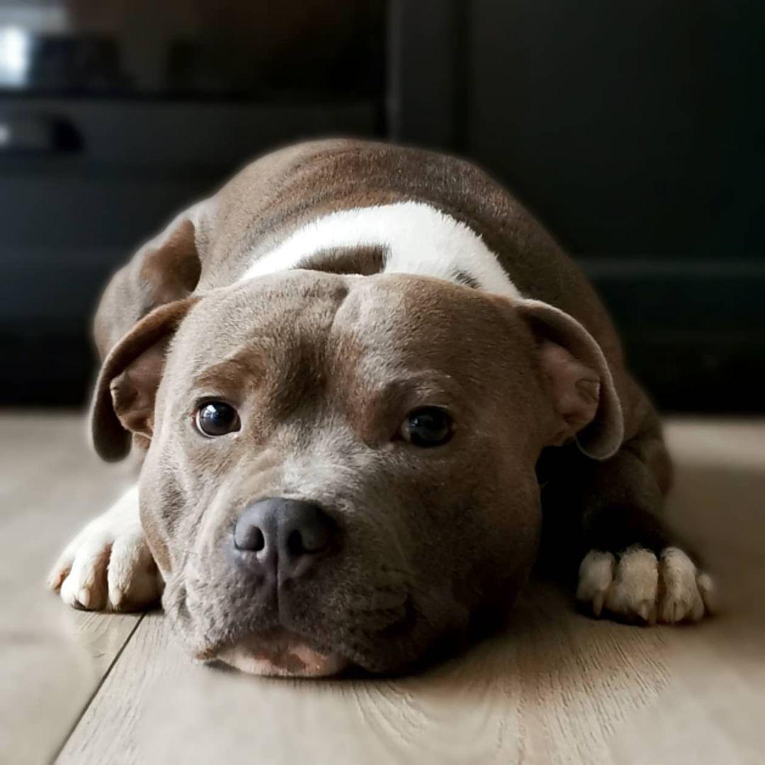 Staffordshire Bull Terrier Dog 24