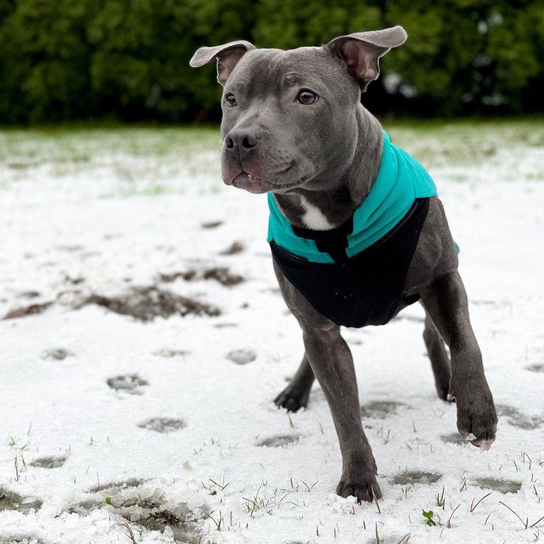 Staffordshire Bull Terrier Dog 22