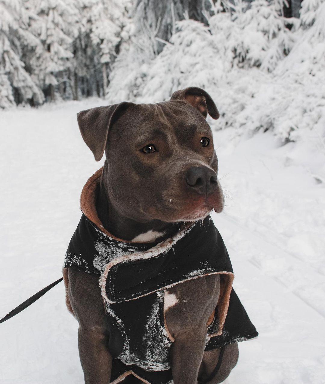 Staffordshire Bull Terrier Dog 17