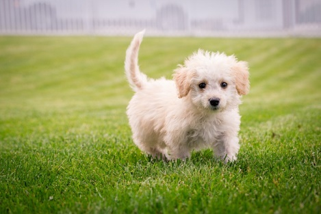 The Teacup Puppy: Pros and Cons of Tiny Puppies 9