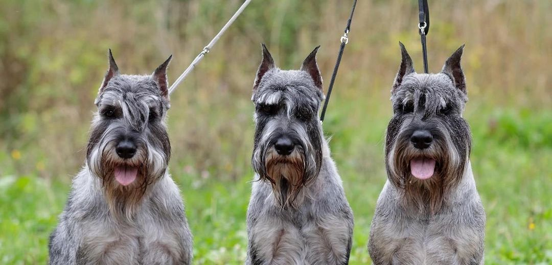 15 Interesting Facts About Schnauzers