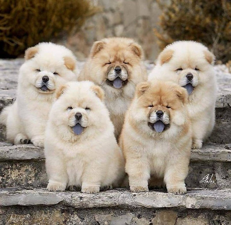 15 Reasons Why You Should Never Chow Chow 7