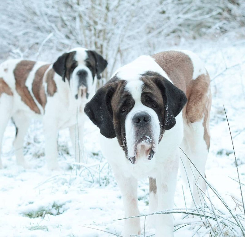15 Reasons Why You Should Never Own St Bernard 7