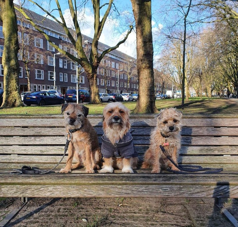 15 Reasons Why You Should Never Own Border Terriers 7