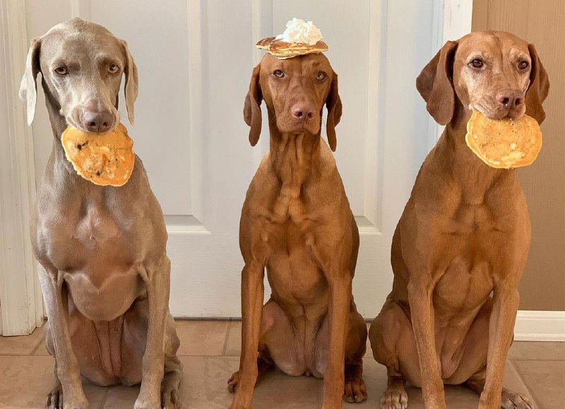 15 Reasons Why You Should Never Own Vizsla 7