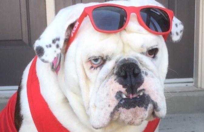 15 English Bulldog Pics That'll Keep You Smiling