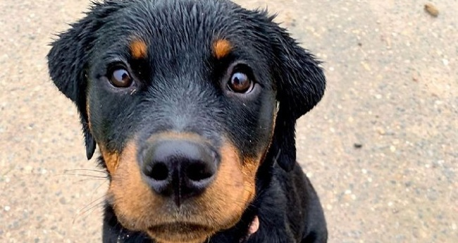 15 Reasons Why You Should Never Own Rottweiler