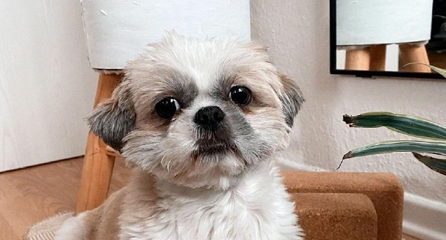 15 Reasons Why You Should Never Own Shih Tzus