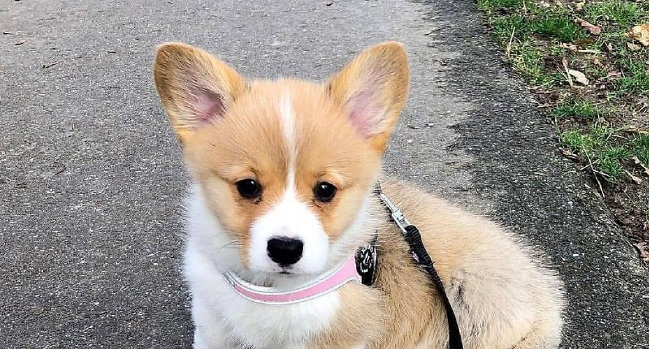 15 Reasons Why You Should Never Own Corgis