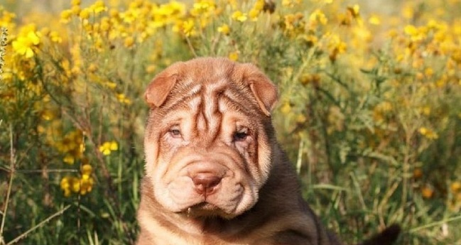 15 Reasons Why You Should Never Own Shar Pei