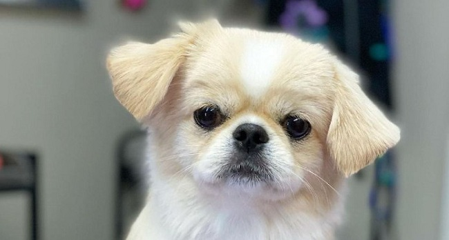 15 Reasons Why You Should Never Own Pekingese