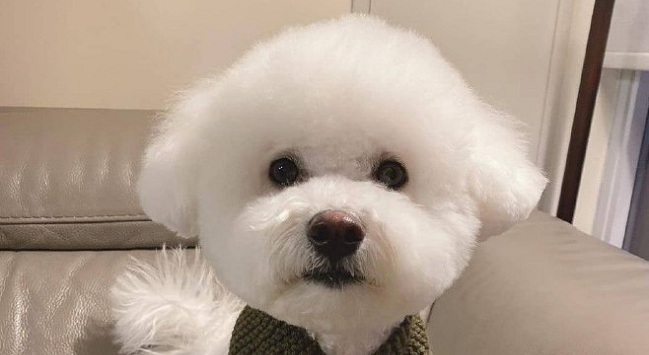 15 Reasons Why You Should Never Own Bichon Frises