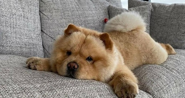 15 Reasons Why You Should Never Chow Chow