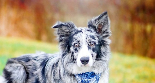 15 Reasons Why You Should Never Border Collies