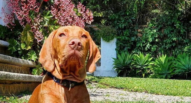 15 Reasons Why You Should Never Own Vizsla