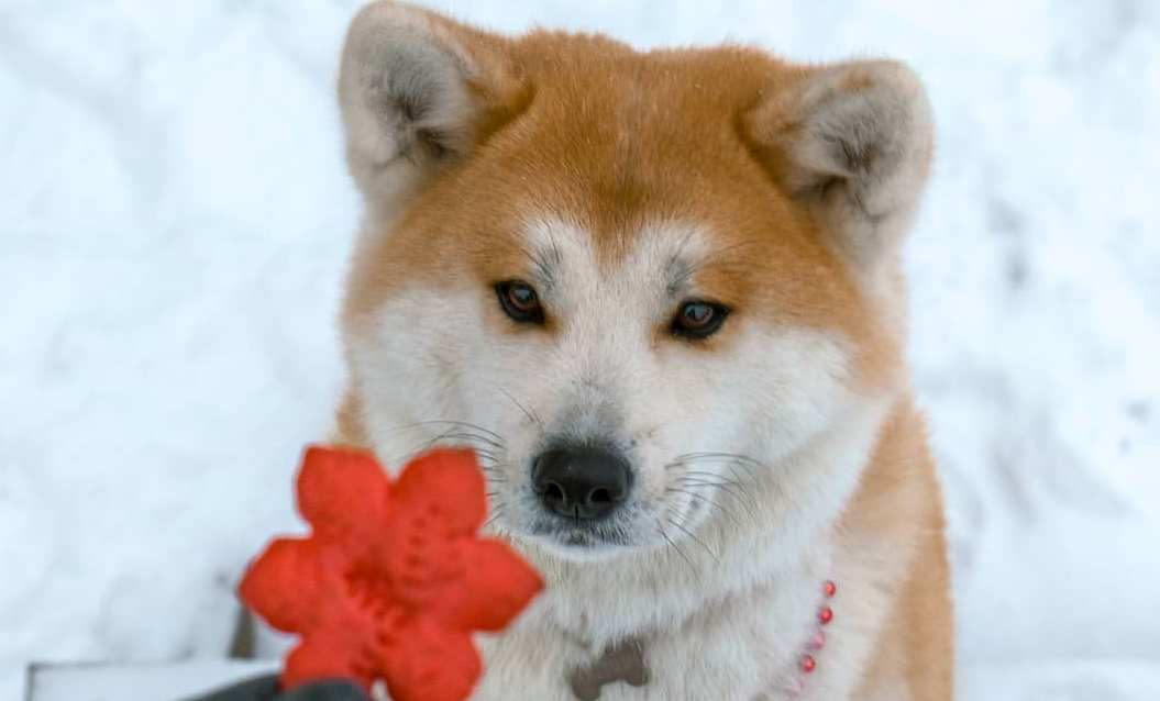15 Amazing Facts About Akita Inus You Probably Never Knew