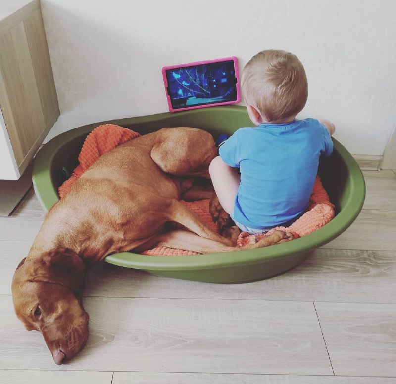 15 Reasons Why You Should Never Own Vizsla 8