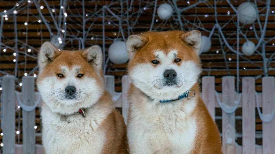 15 Interesting Facts About Akita Inus
