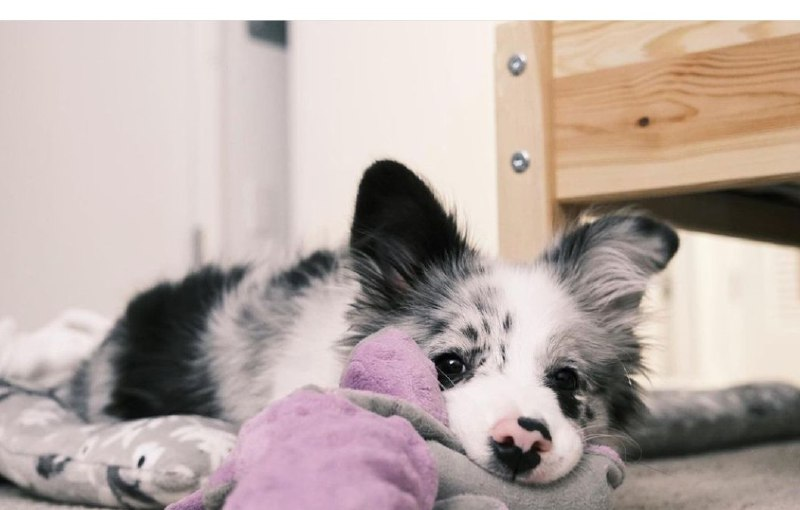 15 Reasons Why You Should Never Border Collies 9