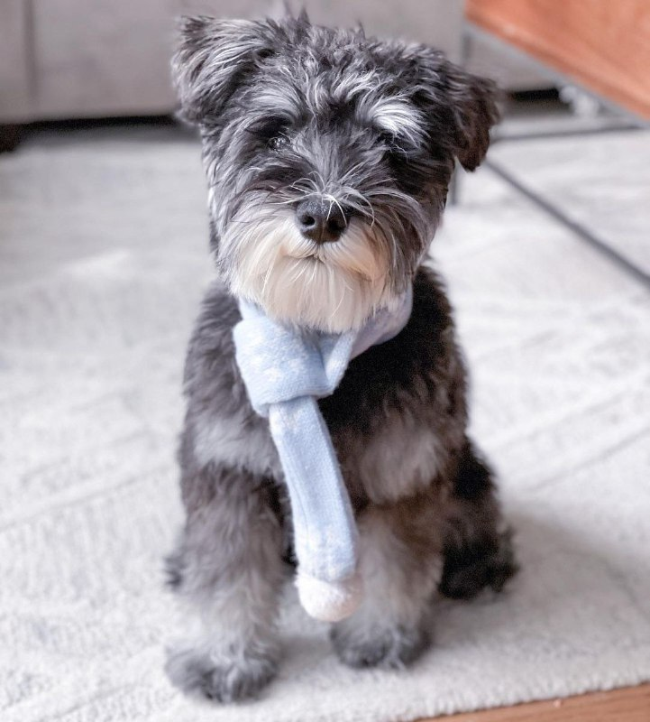 15 Reasons Why You Should Never Own Schnauzers 9