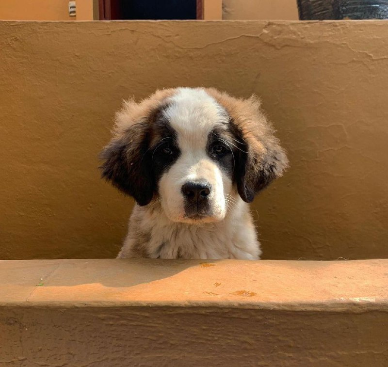15 Reasons Why You Should Never Own St Bernard 9