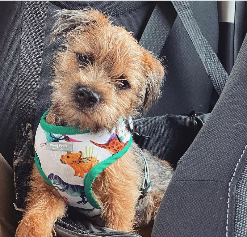 15 Reasons Why You Should Never Own Border Terriers 9