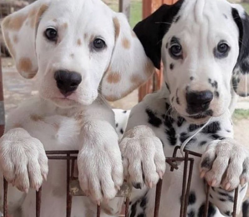 15 Reasons Why You Should Never Own Dalmatians 9
