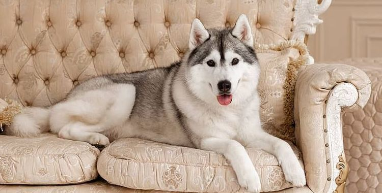 15 Cool Facts About Siberian Huskies