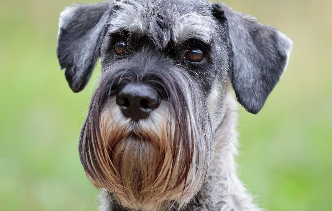 15 Amazing Facts About Schnauzers You Probably Never Knew