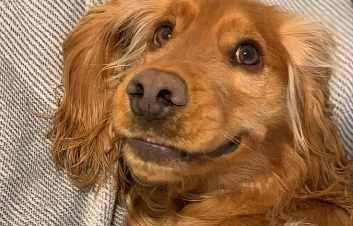 15 Cocker Spaniel Pics That'll Keep You Smiling