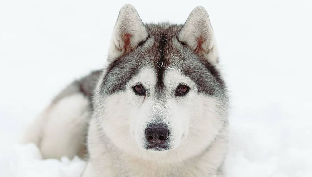 16 Cool Facts About Siberian Huskies