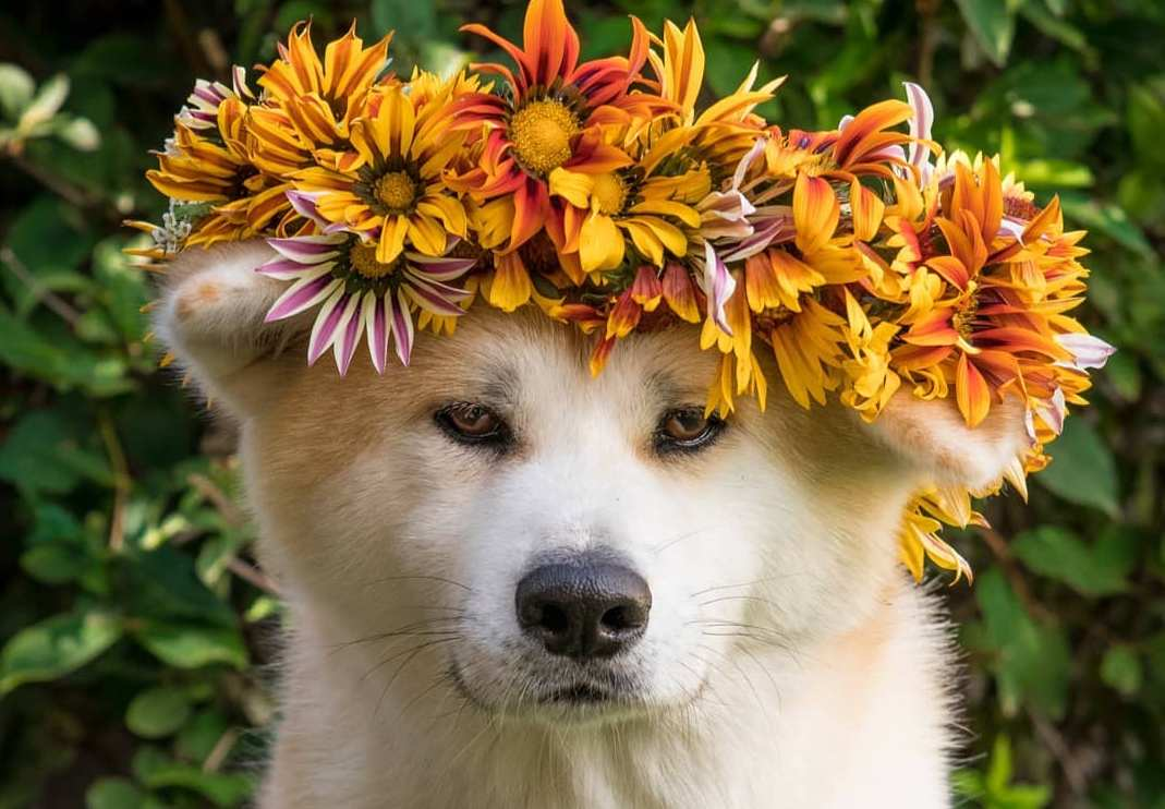 15 Cool Facts About Akita Inus