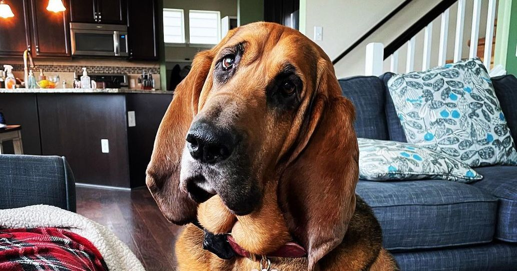 16 Amazing Facts About Bloodhounds You Probably Never Knew