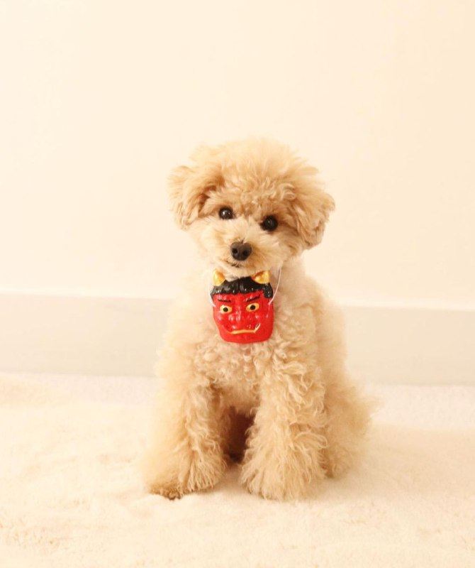 15 Reasons Why You Should Never Own Poodles 7