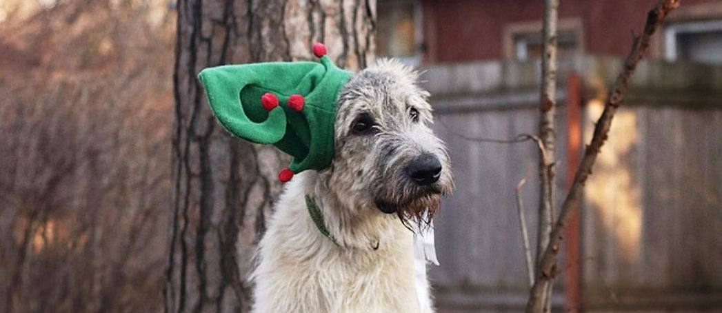 16 Irish Wolfhound Pics That'll Keep You Smiling