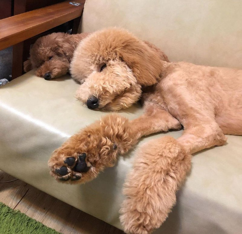 15 Reasons Why You Should Never Own Poodles 8