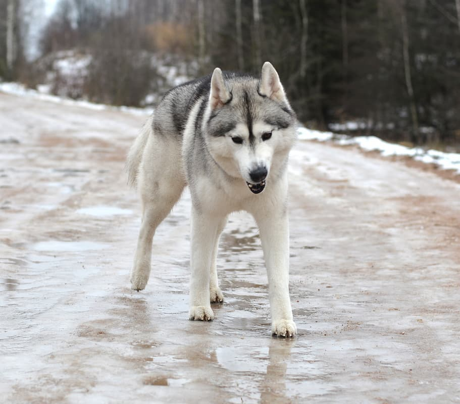 15 Amazing Facts About Siberian Huskies You Probably Never Knew 7