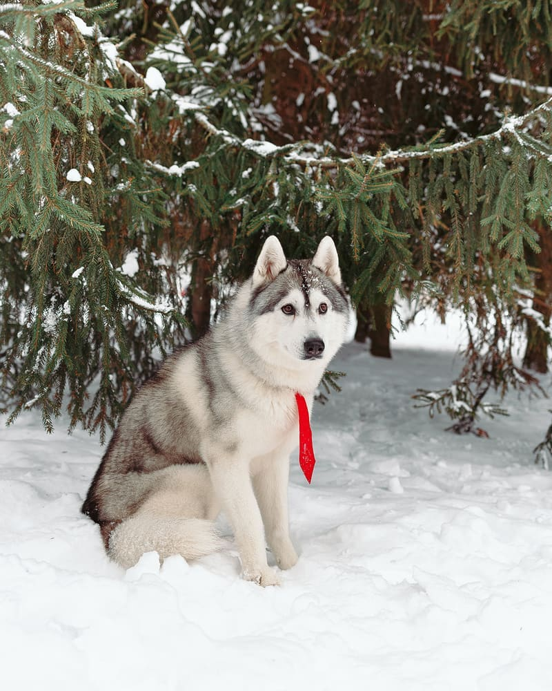 16 Cool Facts About Siberian Huskies 8