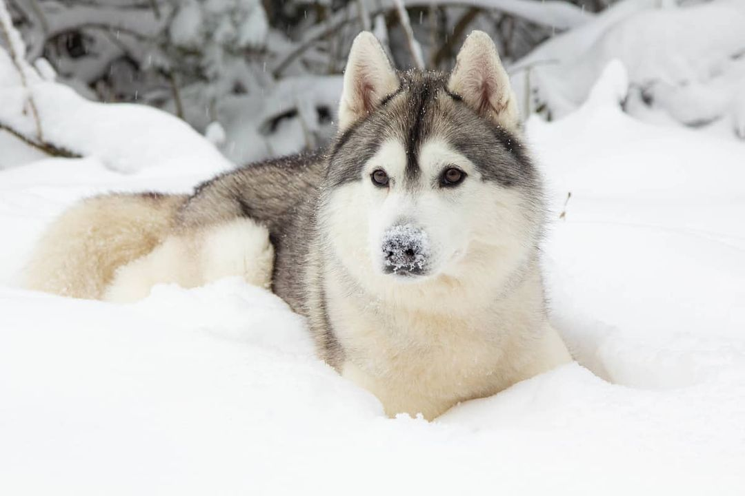 16 Cool Facts About Siberian Huskies 9
