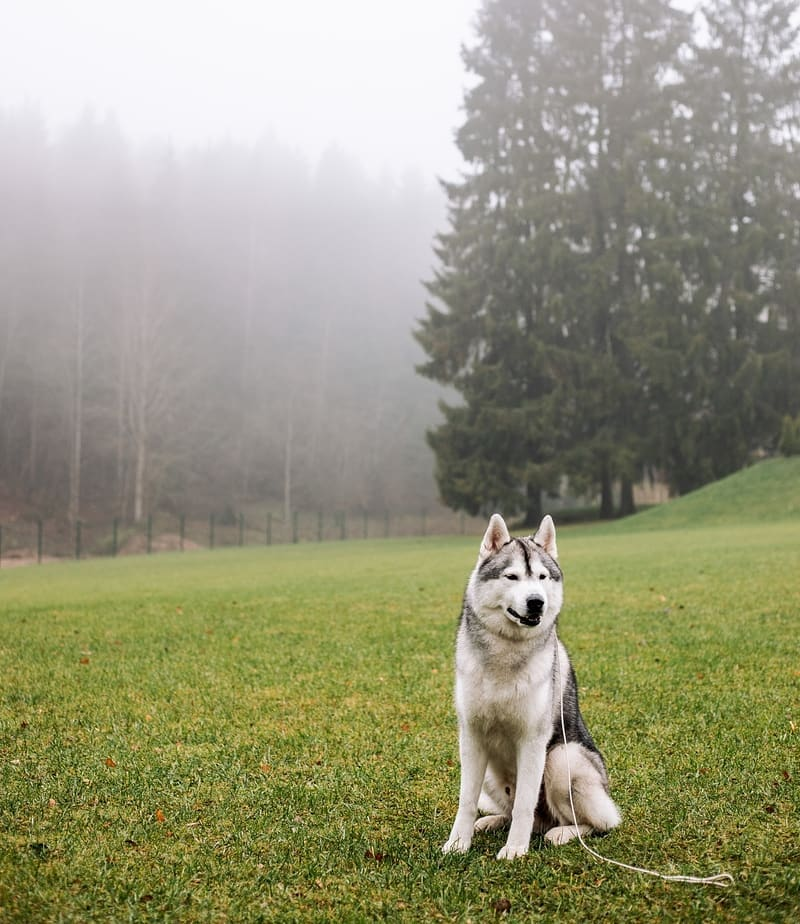 15 Amazing Facts About Siberian Huskies You Probably Never Knew 8